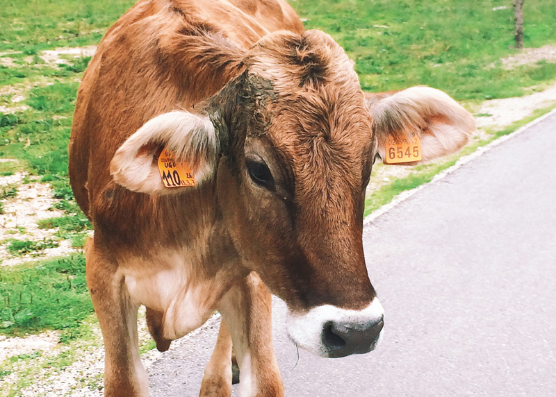 asiago italy hiking cow