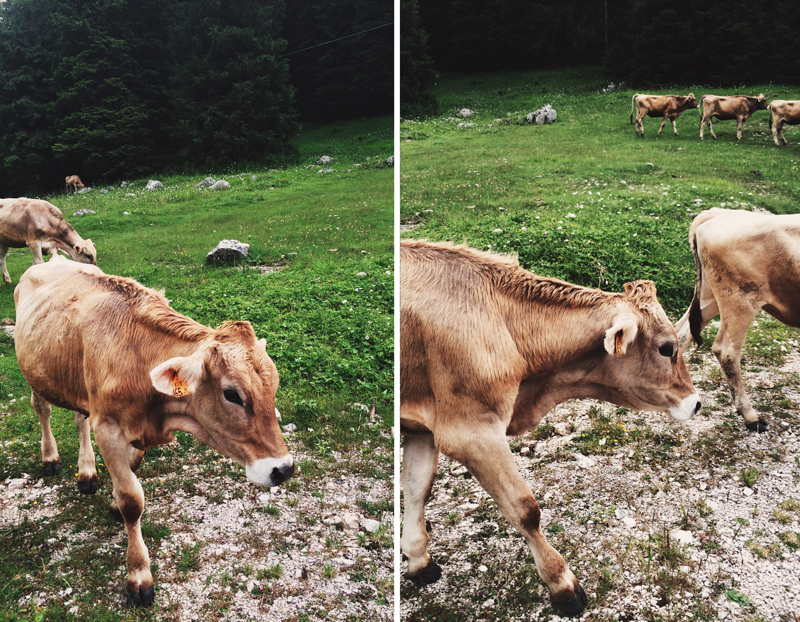 cows asiago italy