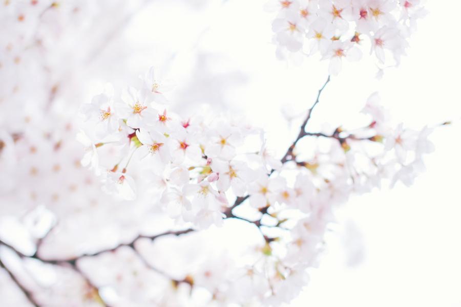 cherry-blossom-150405-14