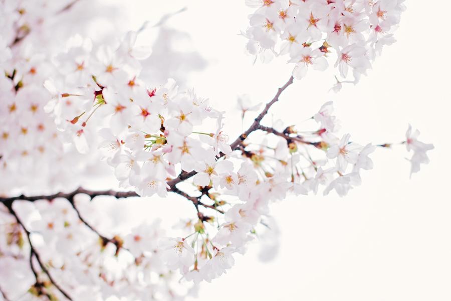cherry-blossom-150405-15