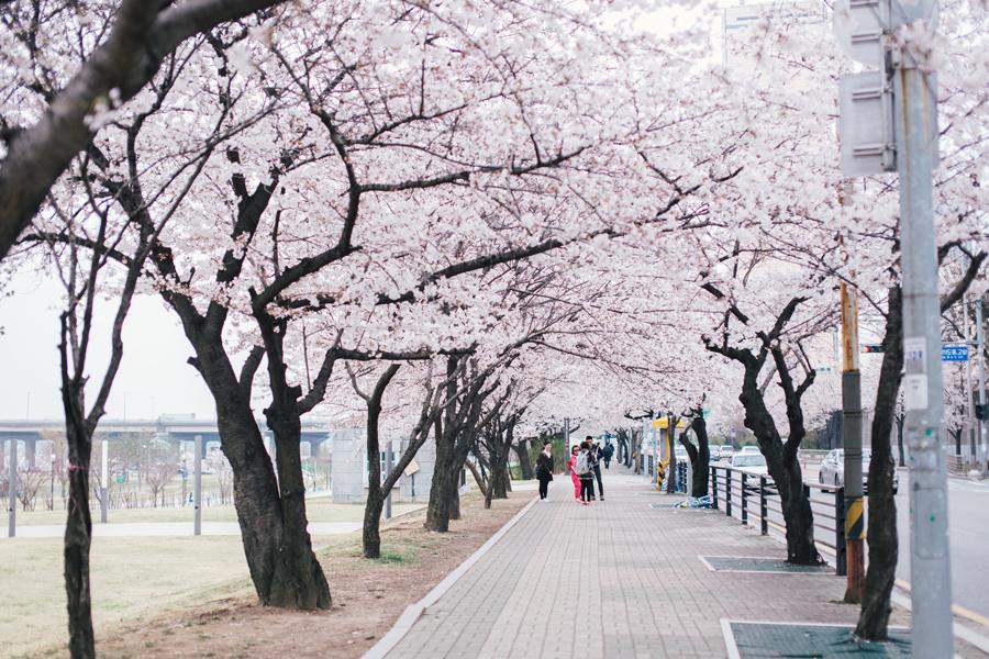 cherry-blossom-150405-2