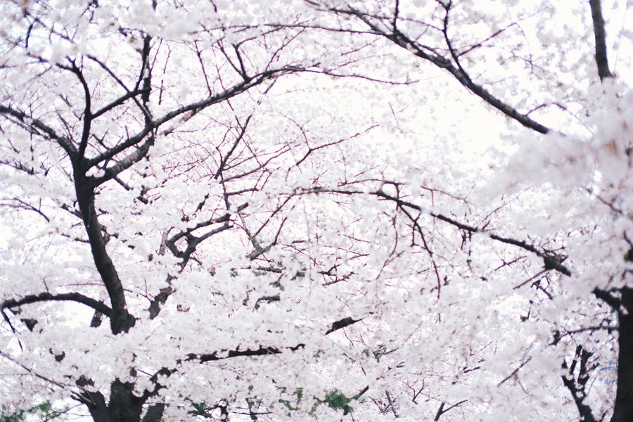 cherry-blossom-150405-47