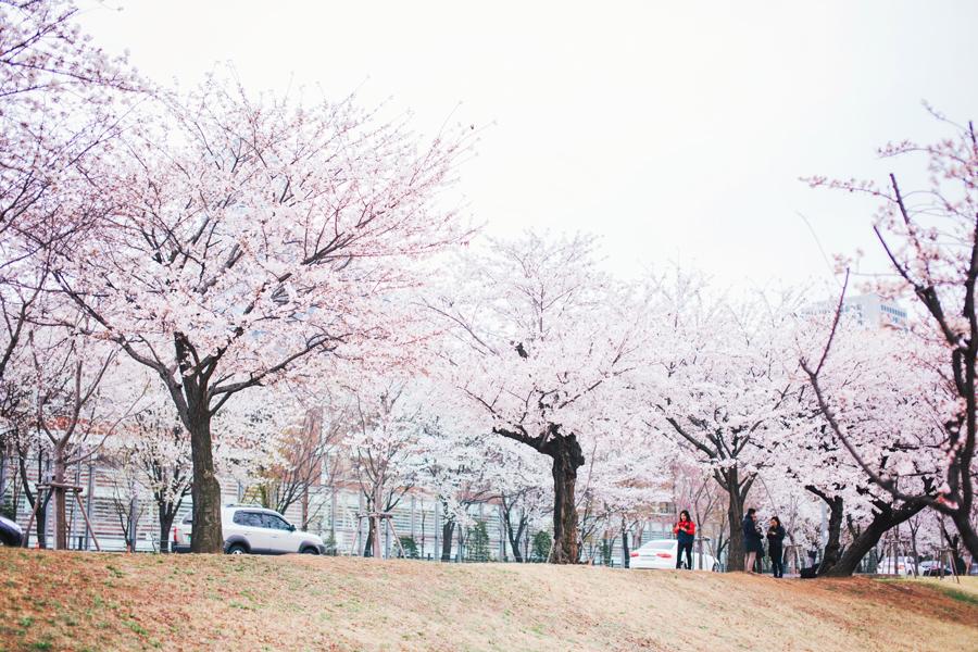 cherry-blossom-150405-9