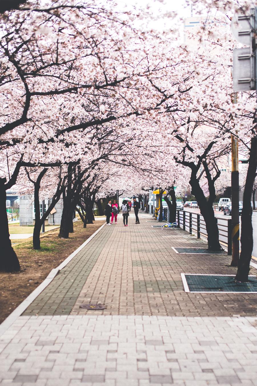cherry-blossom-150405