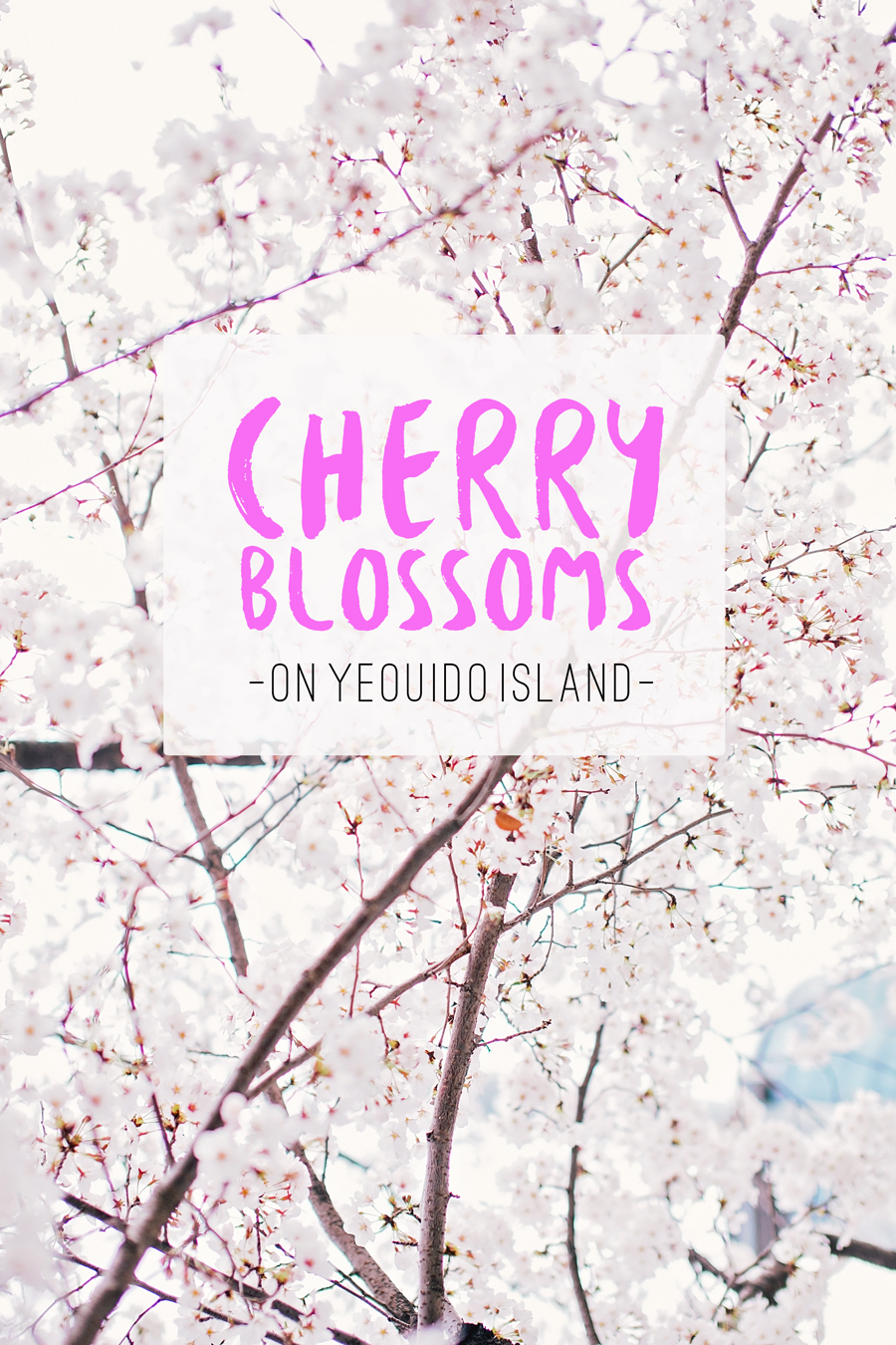 cherry blossoms yeouido island seoul south korea